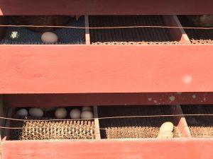 coop eggs