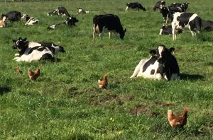 Cows and chickens co-habitat, an important key for biodynamic certification.